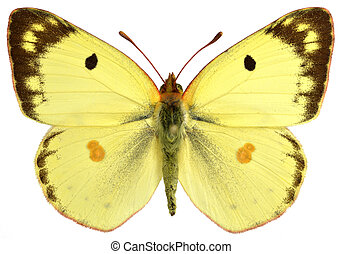 Isolated male Pale Clouded Yellow - Male pale Clouded Yellow...