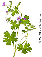 Isolated Malva sylvestris plant showing the palmate leaves ...