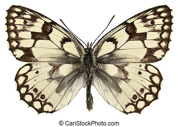 Esper's Marbled White butterfly (Melanargia russiae) isolated on white background