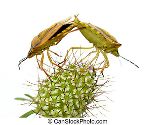 Isolated mating of shield bugs - Mating of shield bugs on...