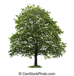 Isolated mature maple tree - Single maple tree with green ...