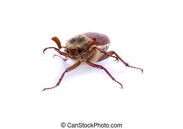 Isolated maybeetle on white - Isolated maybug or maybeetle...