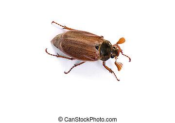 Isolated maybug on white - Isolated maybug or maybeetle on...