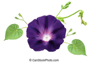 Isolated Morning Glory with vines and leaves on a white...