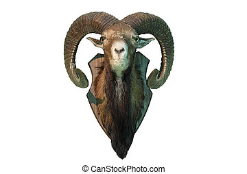 isolated mouflon hunting trophy