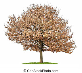 isolated oak tree with autumn foliage