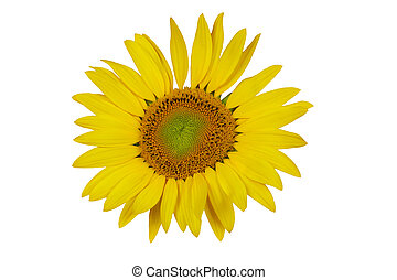Isolated one sunflower on the white background