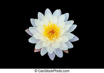 Isolated of lotus on black background