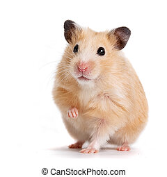 hamster - isolated, on, hamster, pets, animal, mammal, red,...