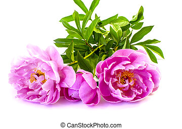 isolated on white background flowers peonies