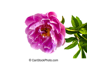 isolated on white background flowers peonies pink color