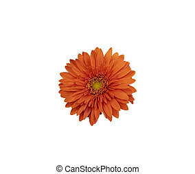 Isolated on white background Gerbera flower red