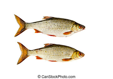 isolated on white two roach fishes - isolated on white ...