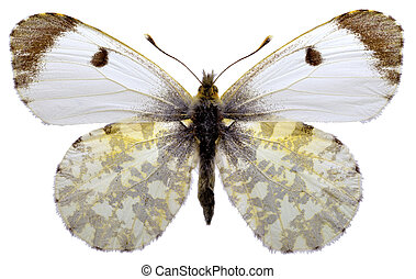 Isolated Orange Tip butterfly - Female Orange Tip butterfly...