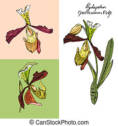 Isolated orchid paphiopedilum on white. Different color, ...