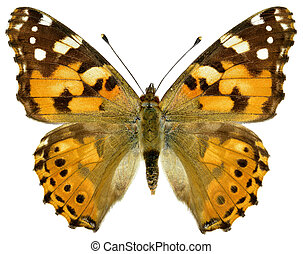 Isolated painted lady butterfly - Painted lady butterfly...