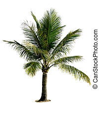 Isolated palm tree with white background