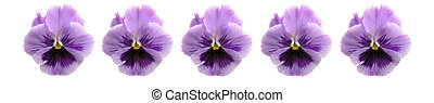Isolated Pansy Bar