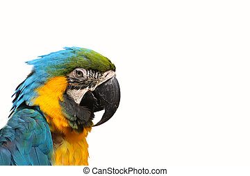 Isolated parrot ara ararauna on the white background
