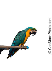 Isolated parrot,on white background.