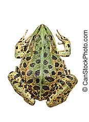 Pelophylax ridibundus, the common marsh frog, isolation over white background