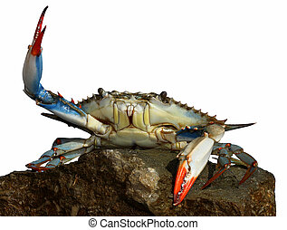 isolated photo of live blue crab - live blue crab in a fight...
