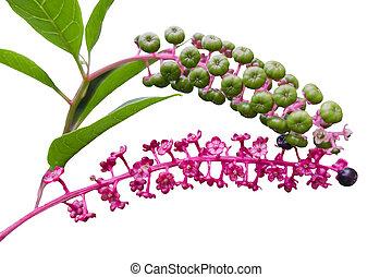 isolated Phytolacca floweror arborea turkish grapes
