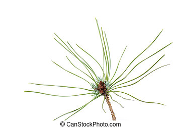 Isolated Pine Leaf - Stock Image - Young pine branch detail...
