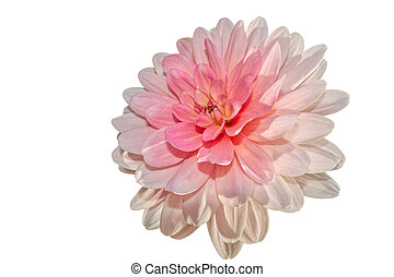 isolated pink dahlia on white