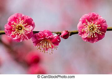 pink plum tree flowers in bloom