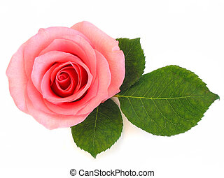 Isolated pink rose with green leaf on white background