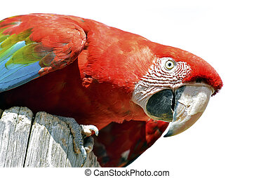 Portrait of macaw (Ara chloroptera or chloropterus) on wooden trunk isolated on white background