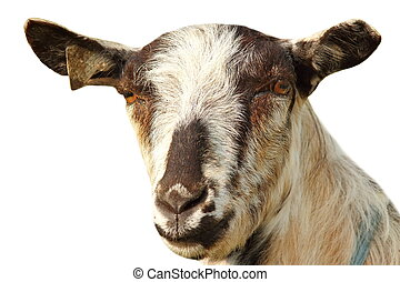 isolated portrait of a goat on white
