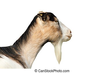 isolated portrait of a goat