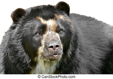 Isolated portrait of Andean bear