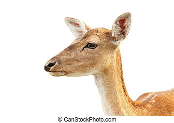 isolated portrait of deer hind