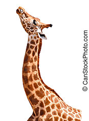 Isolated portrait of giraffe - Profile portrait with the...