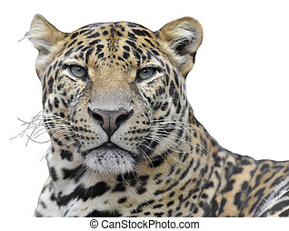 Isolated portrait of leopard - Portrait of leopard (Panthera...