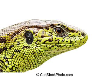 isolated portrait of sand lizard - portrait of sand lizard...