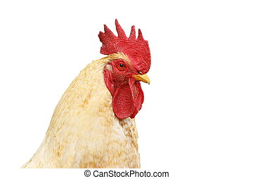 isolated portrait of white rooster