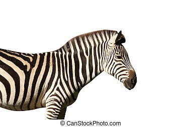 isolated profile view of a zebra