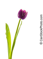 Isolated Purple Tulips.