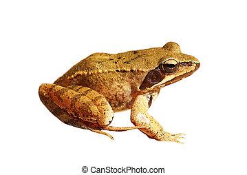 isolated Rana dalmatina - Rana dalmatina or agile frog...