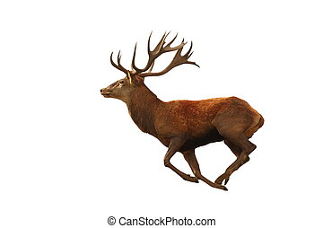 isolated red deer running - red deer running isolated over...