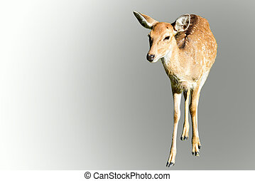 Red deer - Isolated Red deer