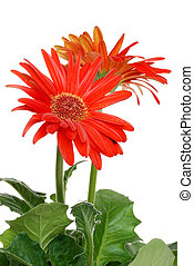 Isolated red Gerbera daisy