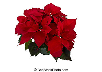Isolated red poinsettia for Christmas background