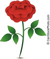 isolated red rose on white background
