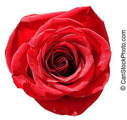 isolated red rose with water droplets