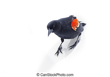 red winged blackbird - Isolated red winged blackbird at ...